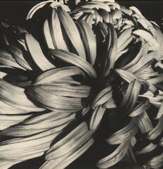 Sonya Noskowiak – Chrysanthemum – Vintage silver print, 1931
